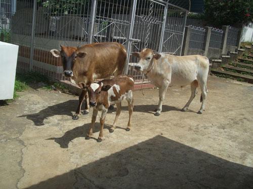 Auf philippinischen Friedhöfen trifft man auch schon mal auf Kühe - so wie hier nähe Ozamis City in der Provinz Misamis Occidental auf Mindanao