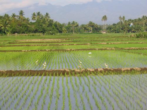 Der Reis: das wichtigste Nahrungsmittel der Filipinos