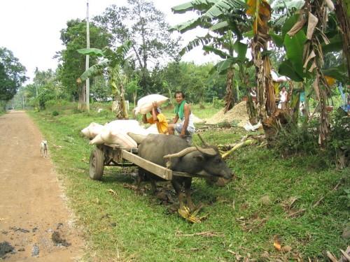 Fuhrwerk mit einem Carabao, dem wichtigsten Arbeitstier auf den Philippinen