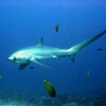 Thresher shark at Monad Shoal