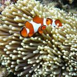 Clownfische & Anemone