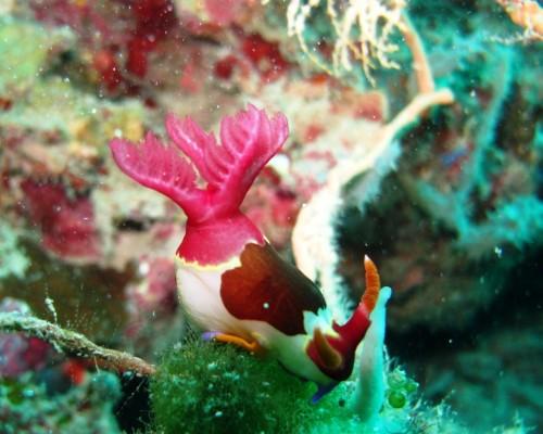 Nacktschnecke - nudibranch