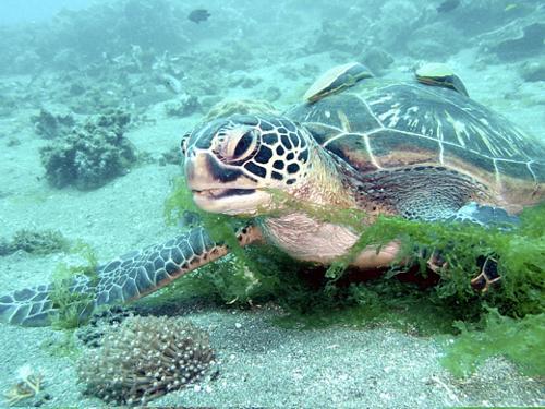 Schildkröte vor Negros