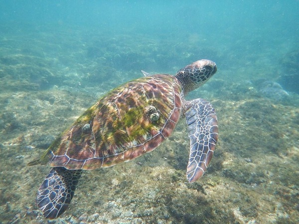 sea turtle Apo Island