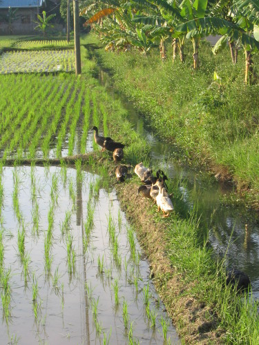 Gut genährte Enten,willkommene Nahrungsquelle für die philippinische Landbevölkerung