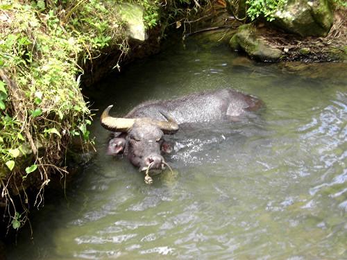 Der philippinische Wasserbüffel - der Carabao - ist das wichtigste Nutztier des Landes