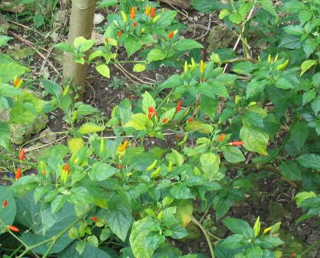 Pikante Chilis gedeihen in den Philippinen prächtig