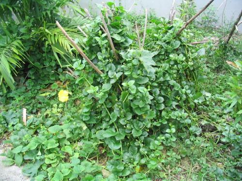 Talagbati - schmeckt ähnlich dem Blattspinat hierzulande
