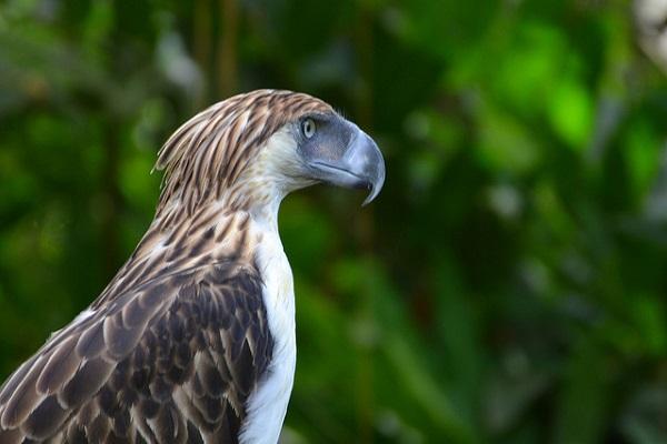 Philippinenadler - gefährdetes Nationaltier der Philippinen