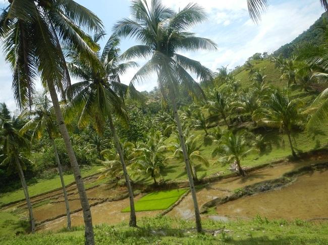 Neue Reisfelder nahe der schönen Can-umantad Falls in Candijay, Bohol