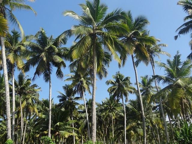 Kokosnuss-Plantage in Davao (Mindanao)