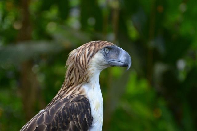 Philippine Eagle im Philippine Eagle Center in Davao