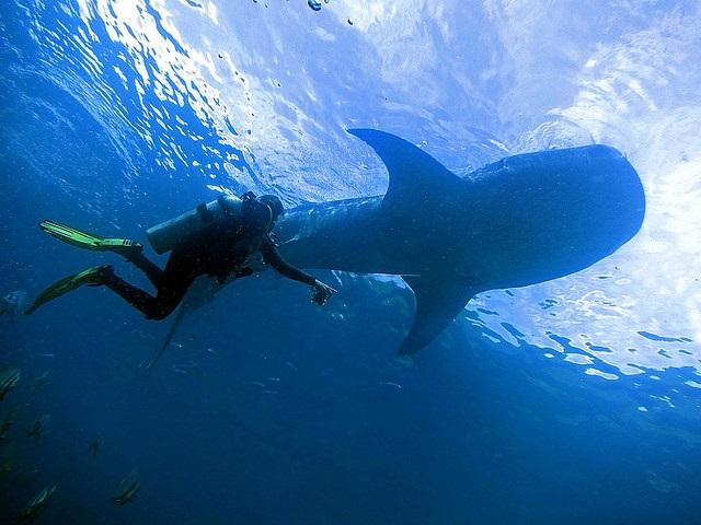Großer Walhai und Taucher im Meer nahe Moalboal