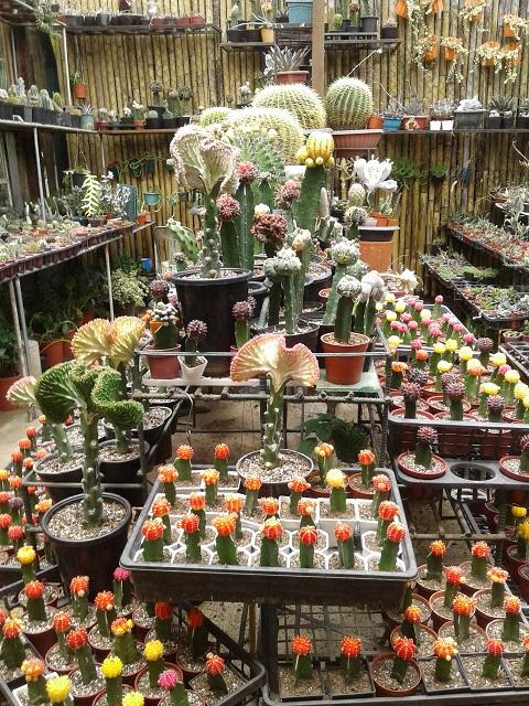 Ulkige Pflanzen und Kakteen im Baguio Orchidarium