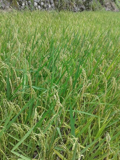 Grünes Reisfeld in Batad, Banaue